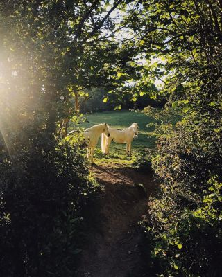 Horses looking through a hedgerow in morning sunlight