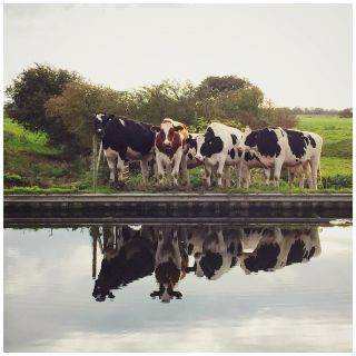 A group of cows reflected in a canal