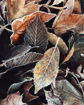 A pile of frozen fallen leaves.