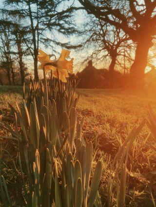 Daffodils blooming in the winter sun
