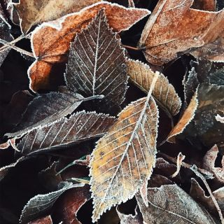 A pile of frozen fallen leaves.