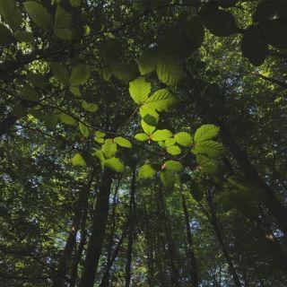 Light shining through beech tree leaves
