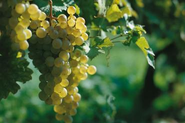 Graševina, the premium white grape variety, is the pride and joy of Slavonia, and has subtle varieties depending on the vineyard microlocation