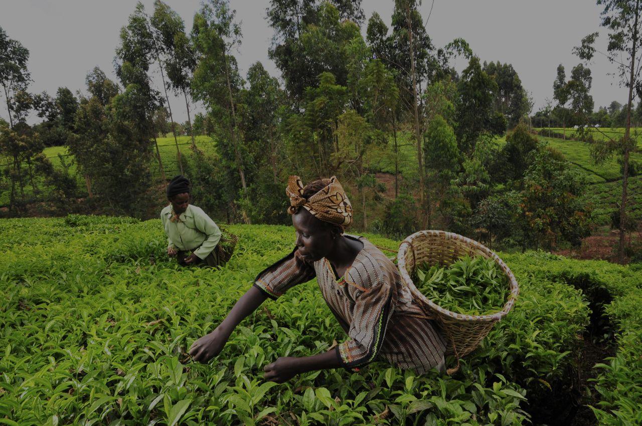 Tea Growing Season