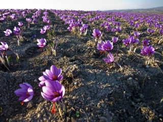Saffron Harvest
