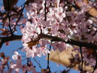 Cherry Blossom in Victoria