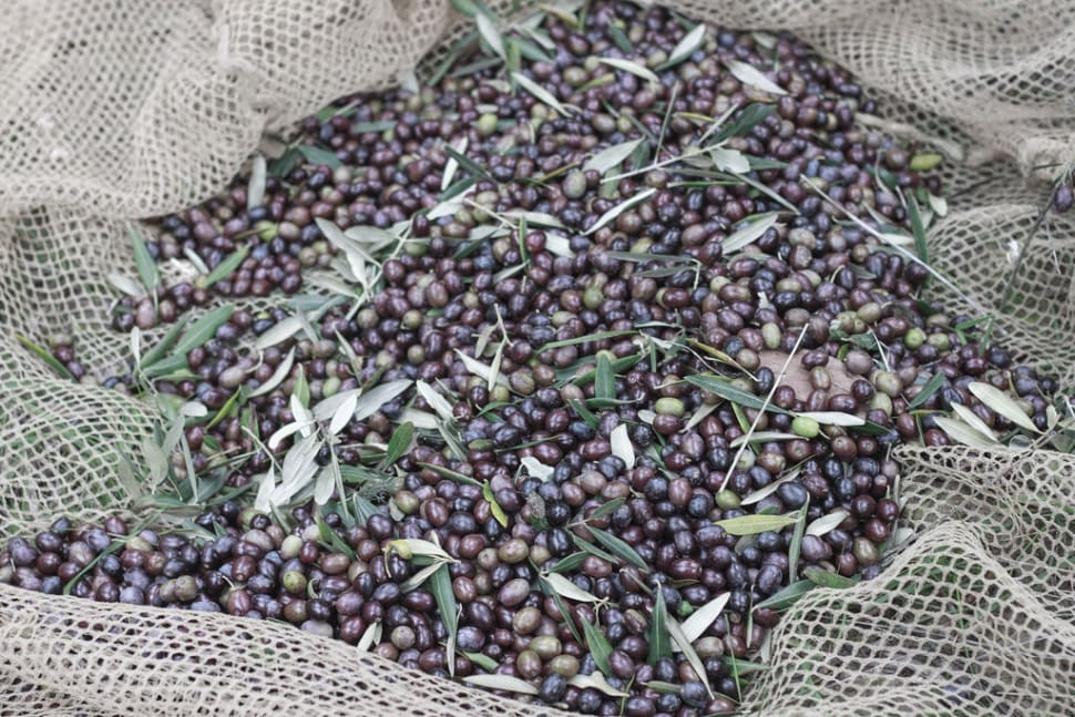 Best time for Olive Harvest in Tuscany