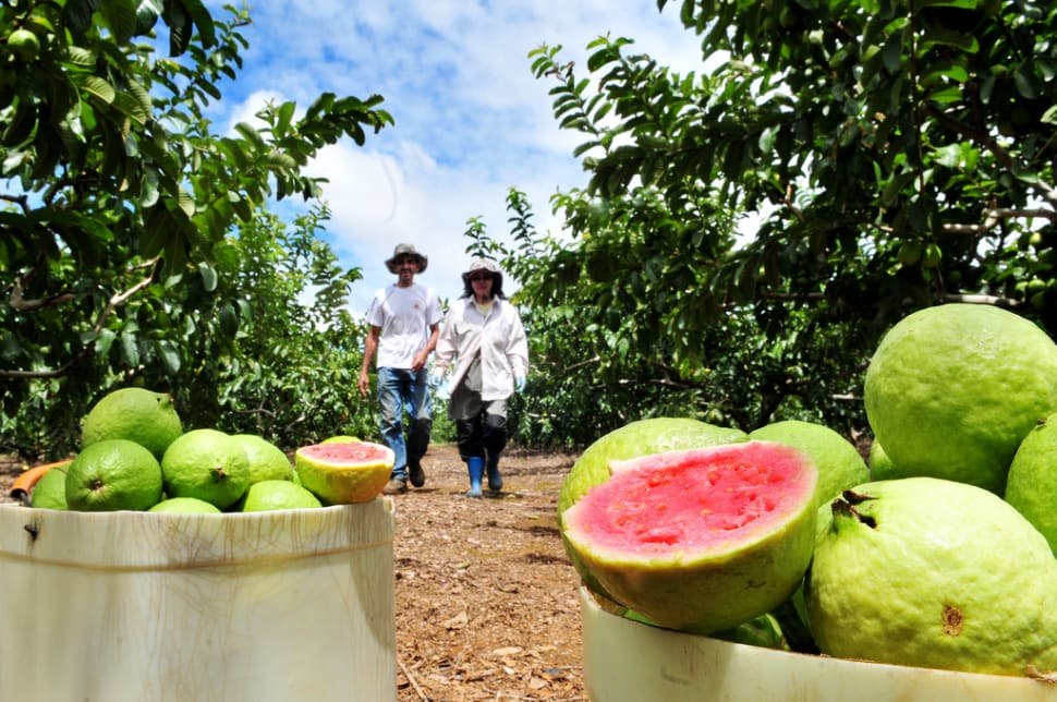 Best time for Guava or Goiaba in Rio de Janeiro