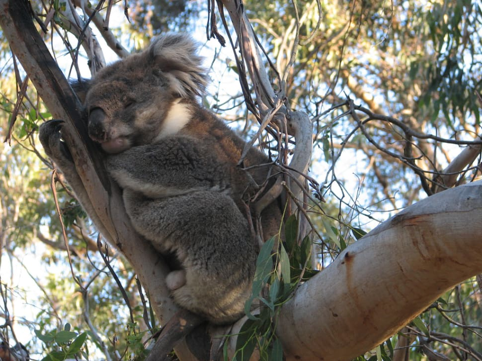 Best time to see Koalas in Victoria