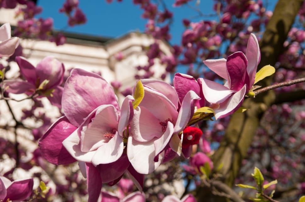 Magnolias in Bucharest in Romania - Best Season