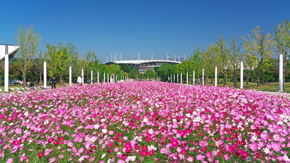 Best time for Cosmos Blooming in Seoul