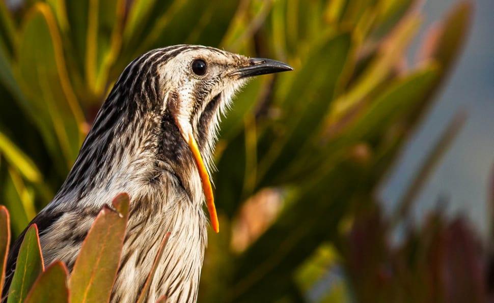 Birdwatching in Tasmania - Best Season