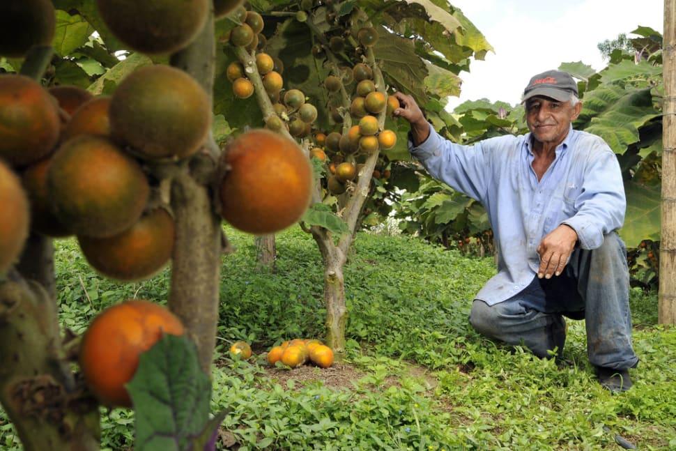 A lulo farmer with his crop of fruit growing in Darién, Colombia
