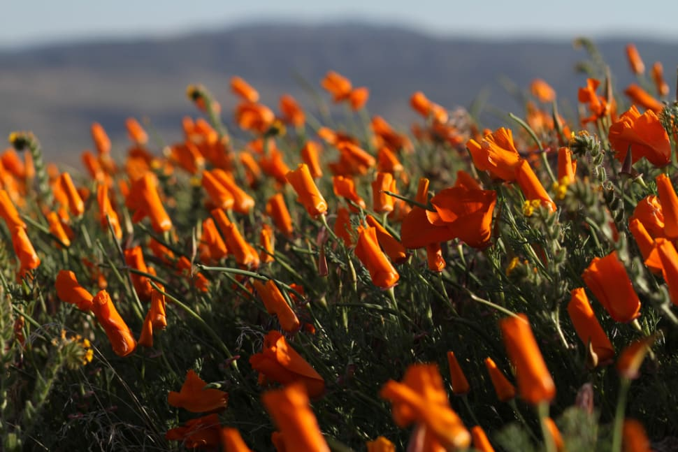 Antelope Valley California Poppy Reserve in California - Best Time