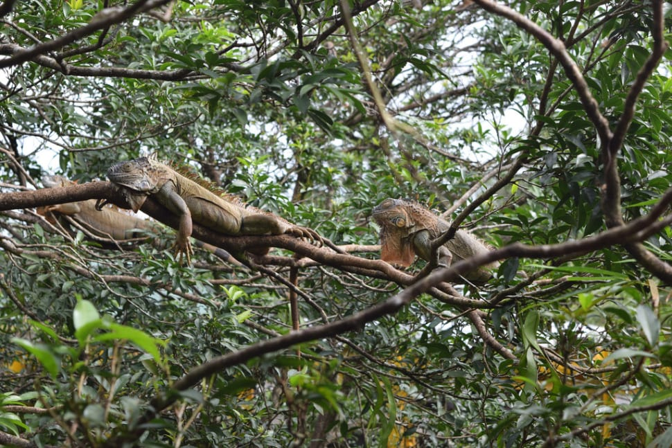 Eating Iguanas in Costa Rica - Best Time
