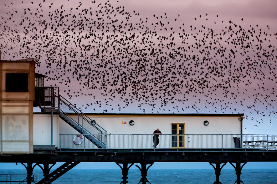 Starling Murmuration in Wales - Best Time