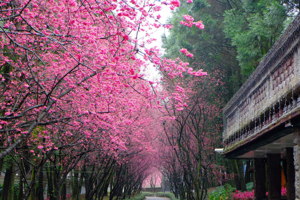 Cherry Blossom in Taiwan - Best Time