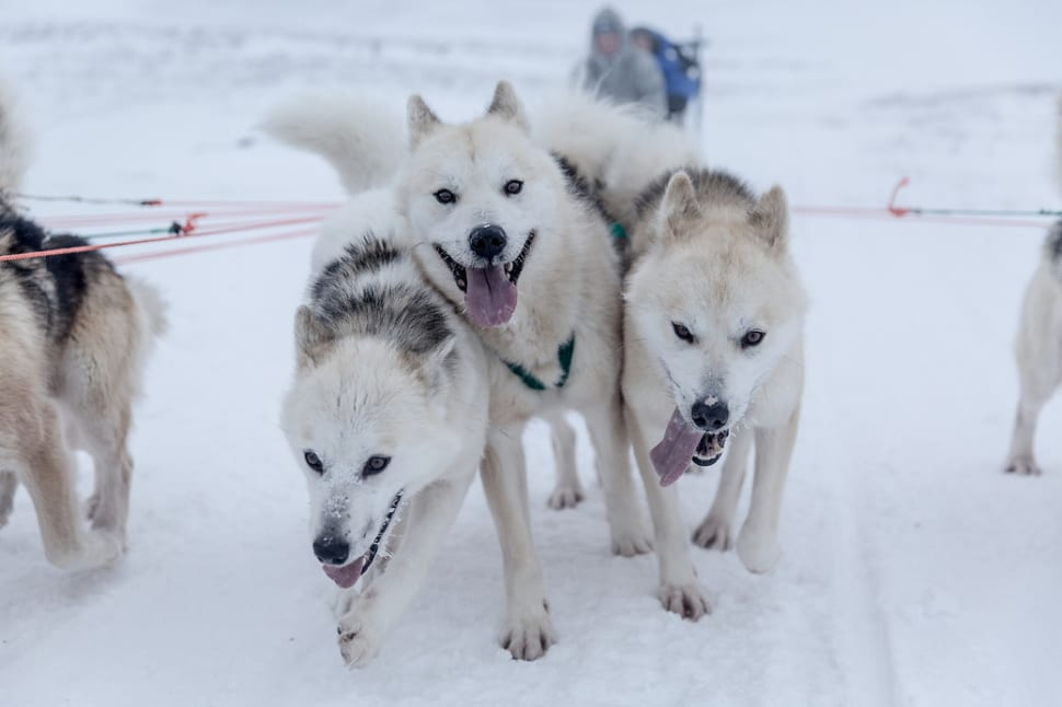 Best time to see Dog Sledding in Greenland