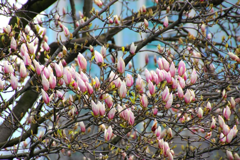 Magnolias in Bucharest in Romania - Best Time