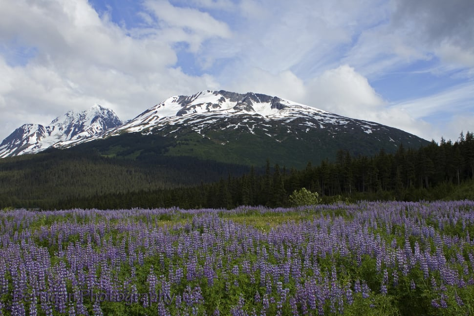 Lupine and mountain near Seward