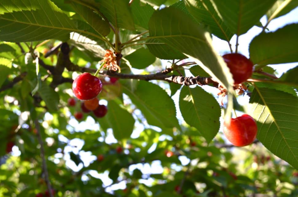 Cherries in Cyprus - Best Time