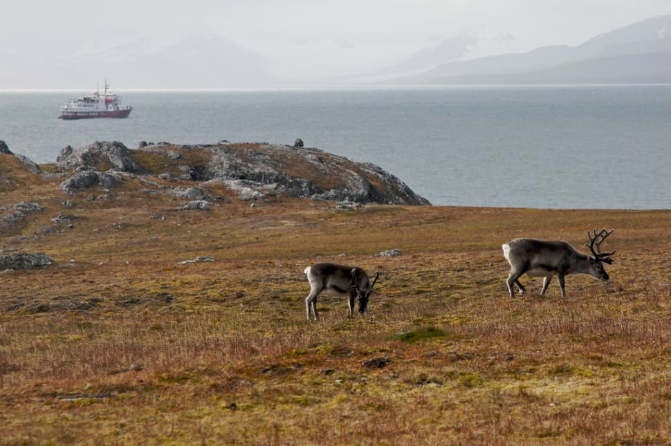 Best time for Reindeer in Svalbard