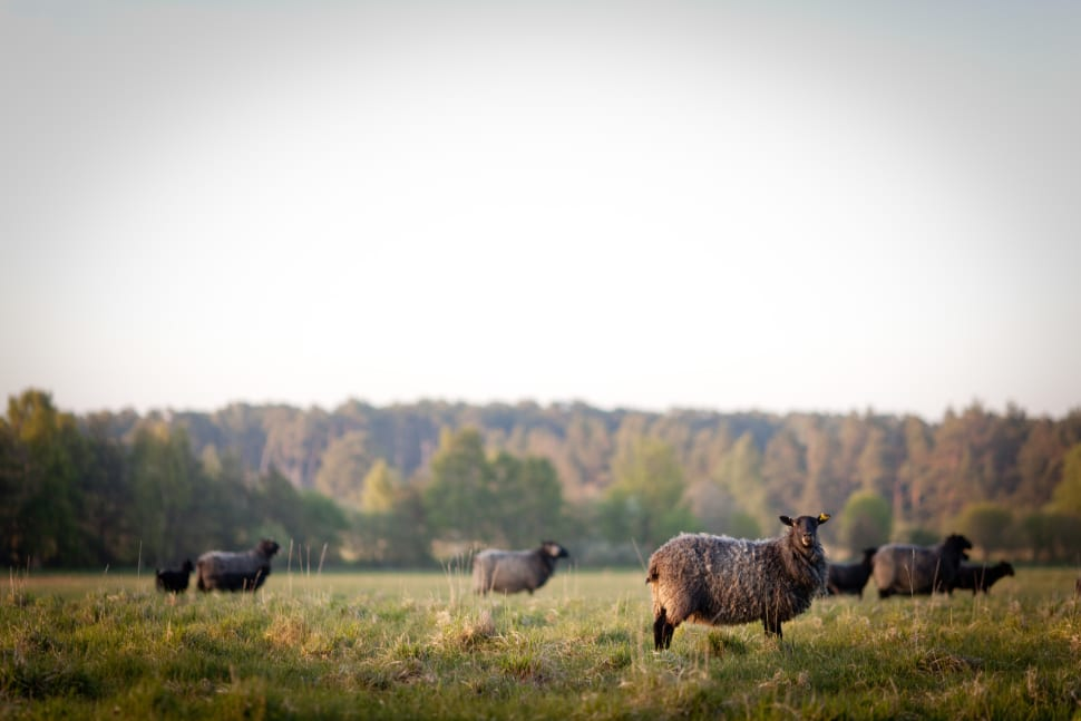Best time to see Gotland Pelt Sheep in Sweden