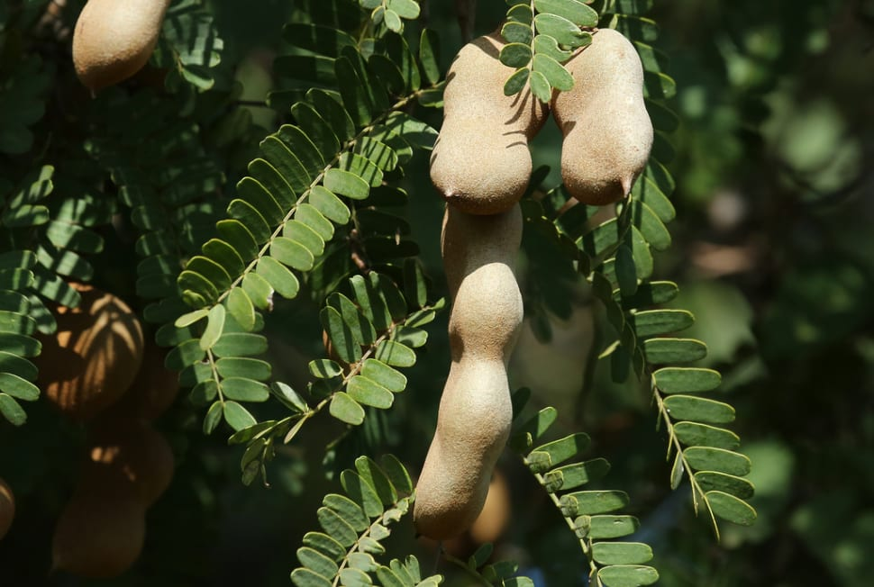 Tamarind Fruit in Costa Rica - Best Time