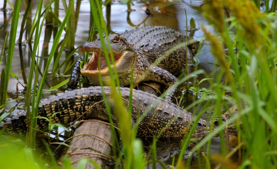 Baby alligators, swamp south of Elm Lake
