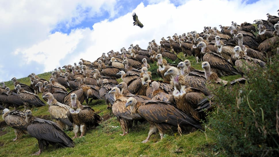 Best time for Vulture, the Sacred Bird of Tibet in Tibet