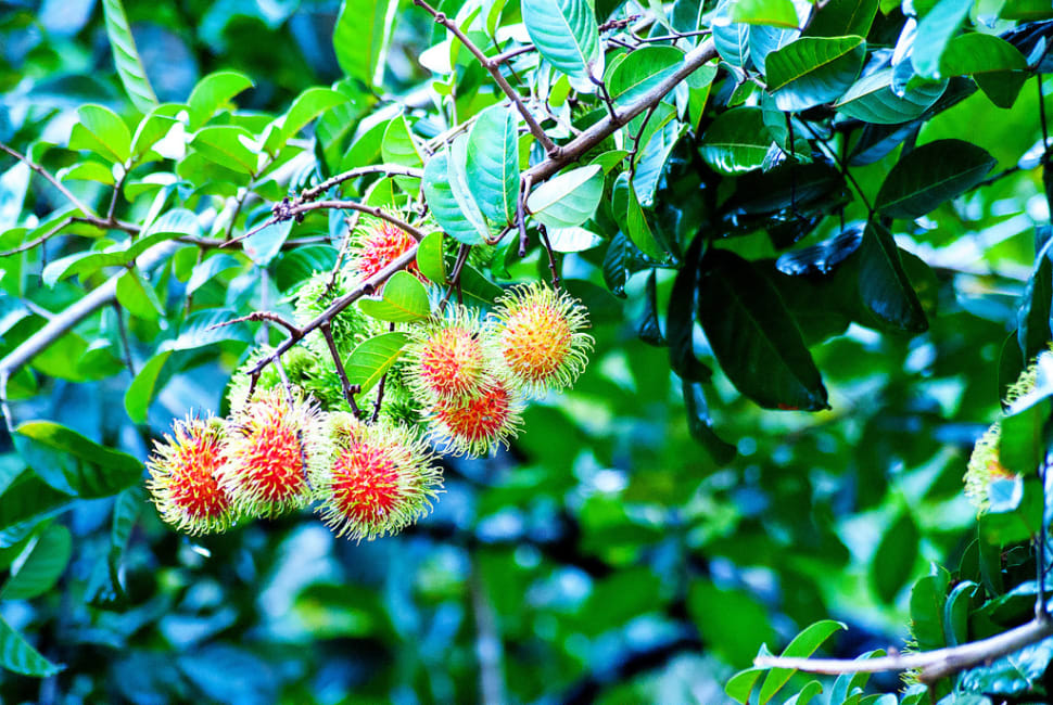 Rambutan in Honduras - Best Time