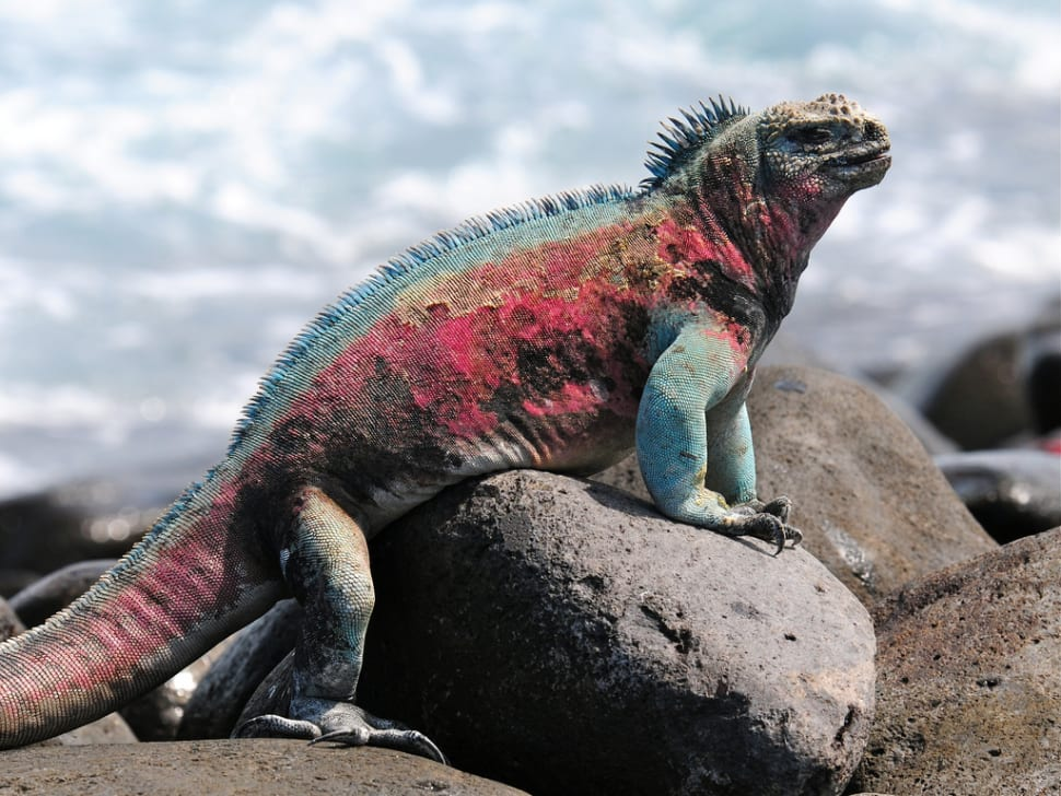 Best time for Marine Iguanas in Galapagos Islands