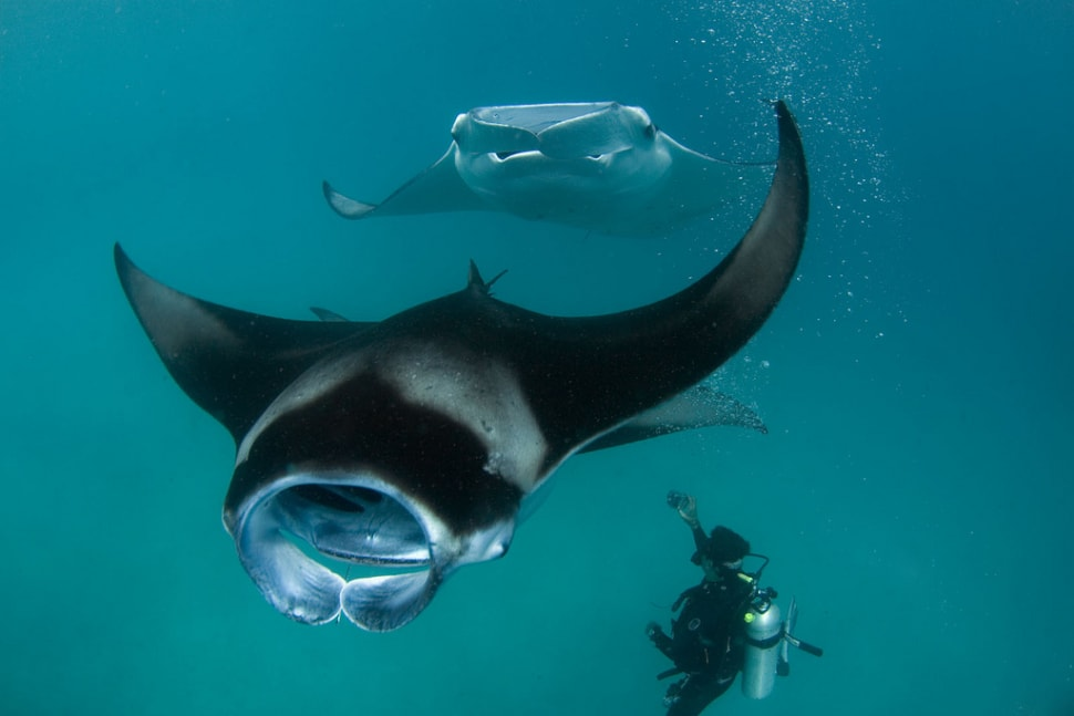 Best time to see Manta Rays in Baa Atoll in Maldives