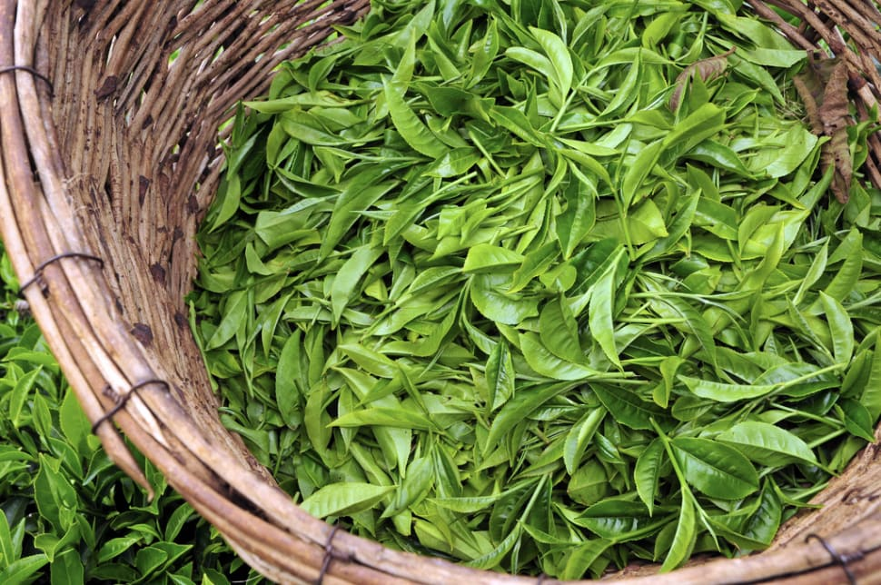 Best time for Tea Growing Season in Kenya