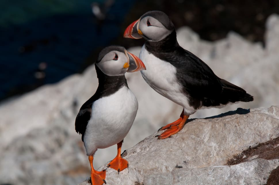 Atlantic Puffin in Norway - Best Time