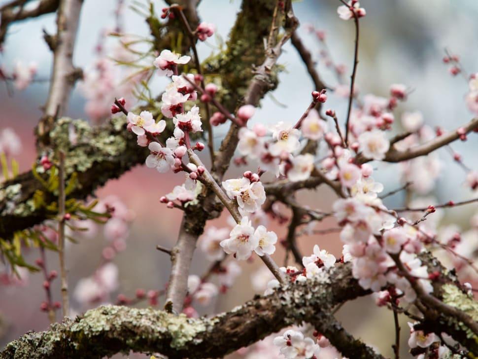 Spring in Japan - Best Season