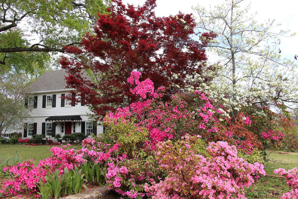 Best time for Azalea Bloom in Tyler in Texas