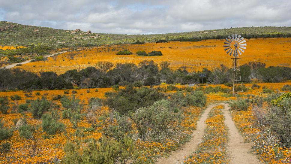 Namaqualand Daisies in South Africa - Best Season