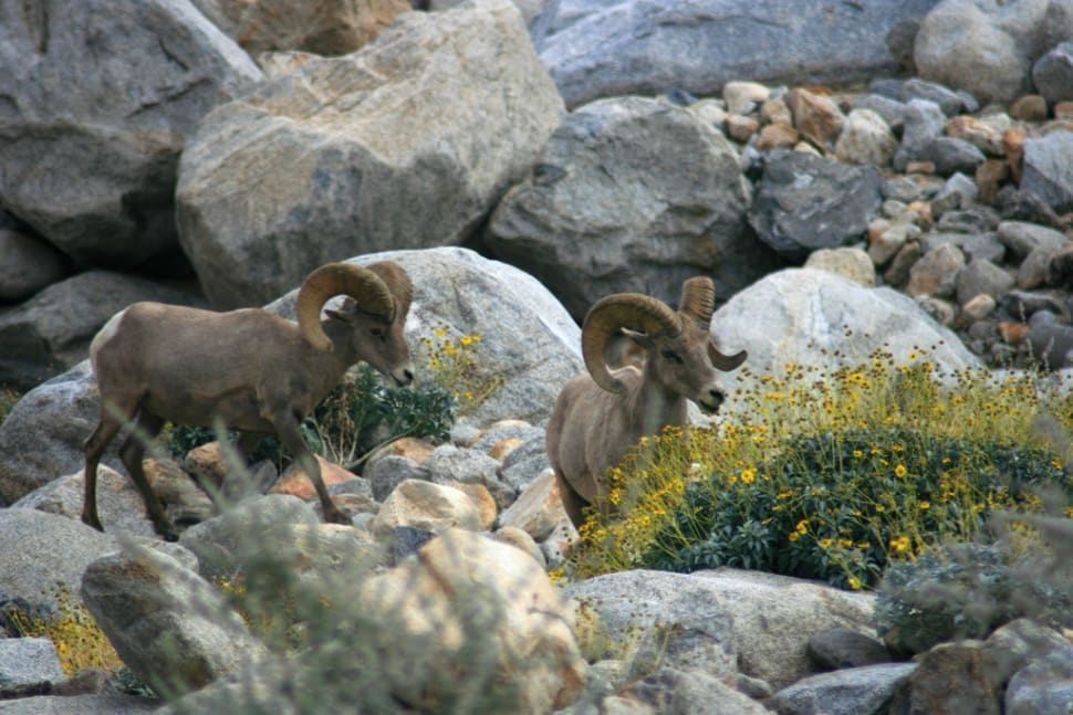 Best time for Big Horn Sheep in Los Angeles