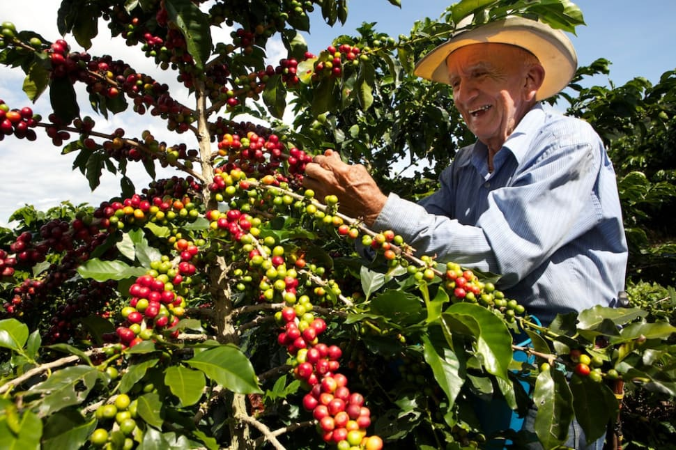 Best time for Coffee Harvest in Colombia