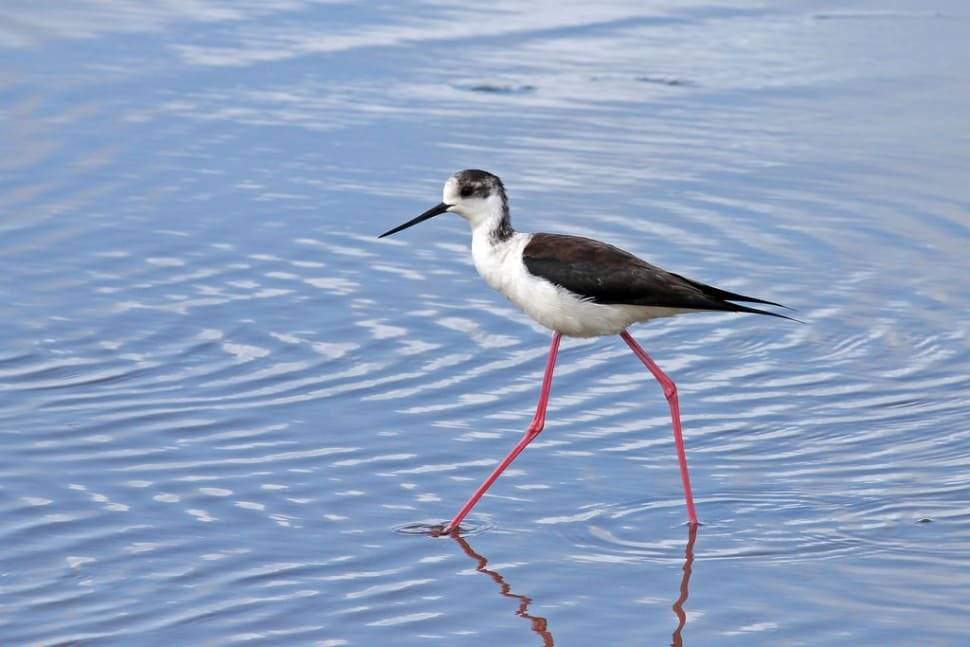 Black-winged Stilt in Sado Estuary