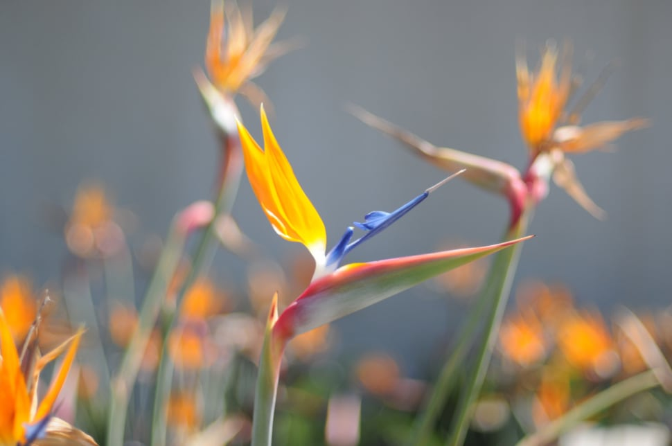 Bird of Paradise in Los Angeles - Best Season