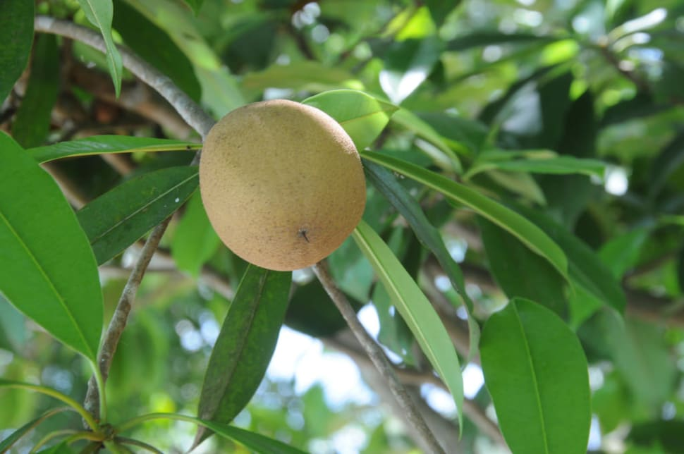 Sapodilla Season in Costa Rica - Best Season