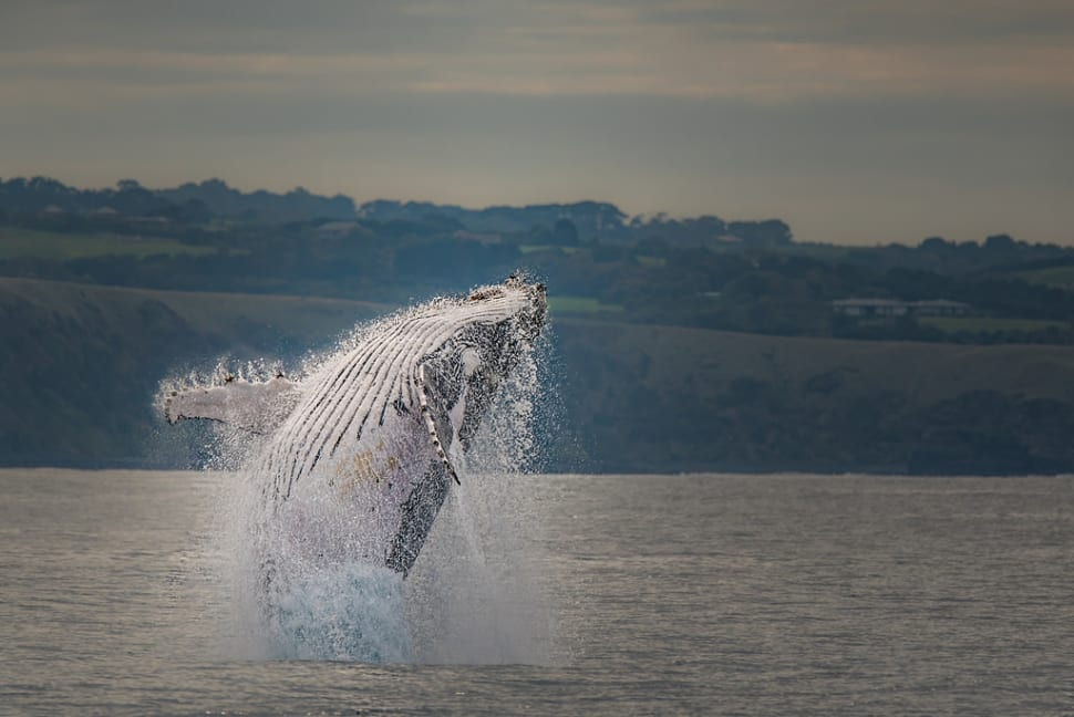 Whale Watching in Victoria - Best Time