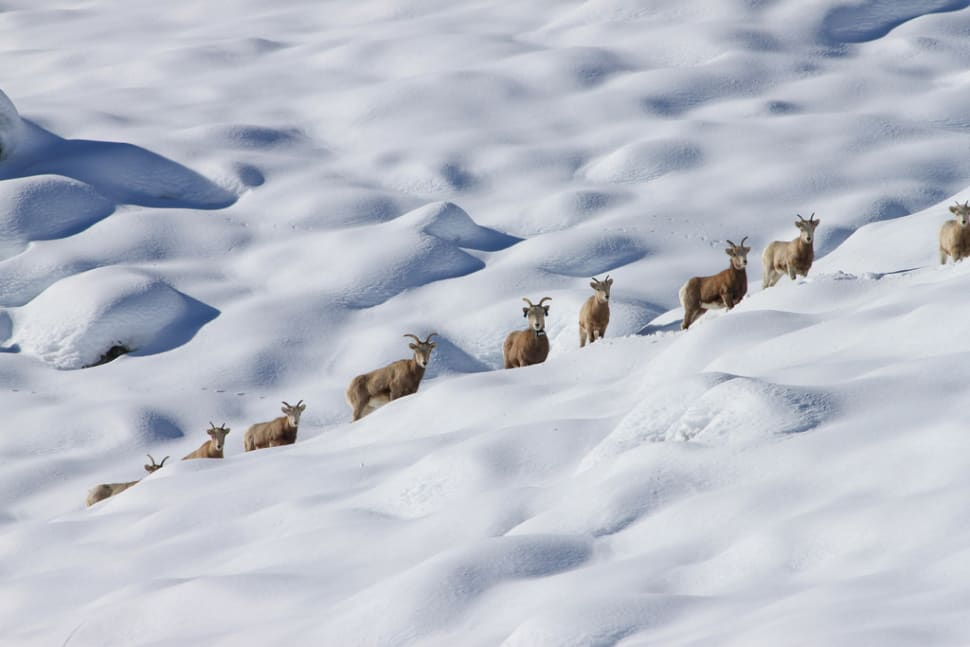 Best time for Sierra Nevada Bighorn Sheep in Yosemite