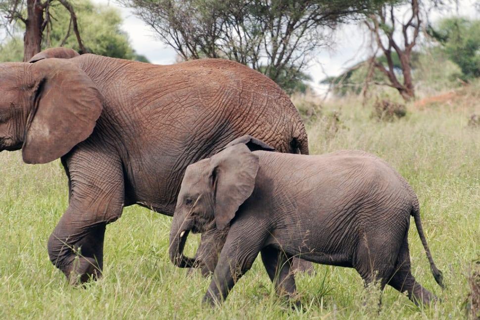 Tarangire: The African bush elephant or African savanna elephant