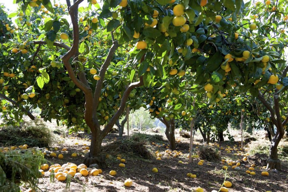 Tangerine Harvesting Season in Croatia - Best Time