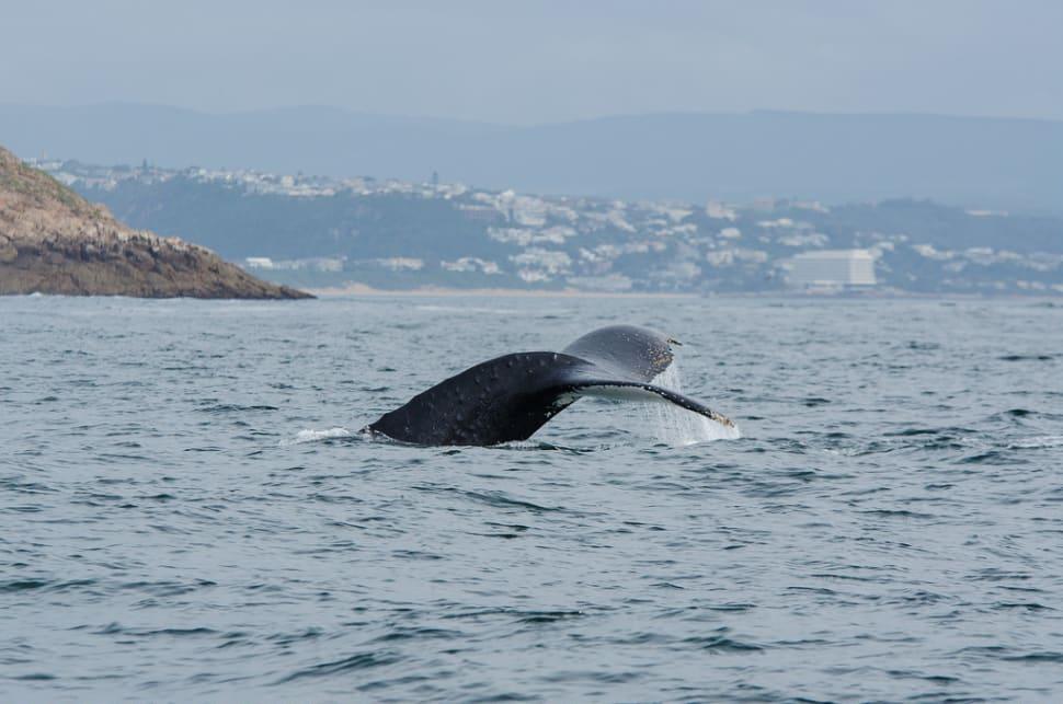 Humpback whale in Plettenberg Bay
