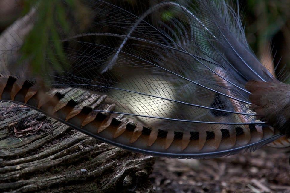 Superb Lyrebird in the dark