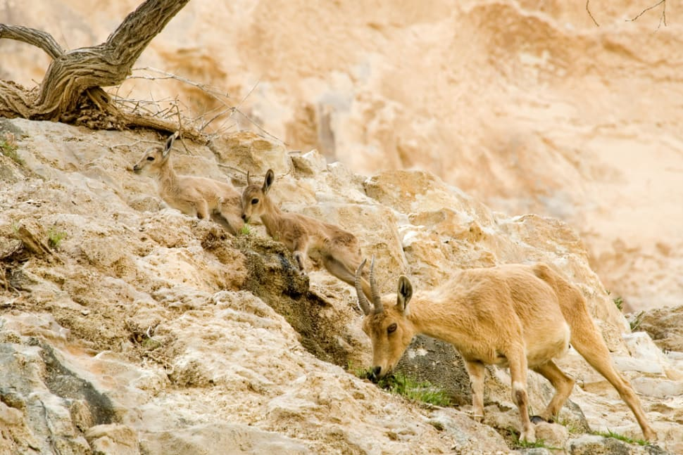 Best time for Nubian Ibex Baby Mountain Goats in Israel